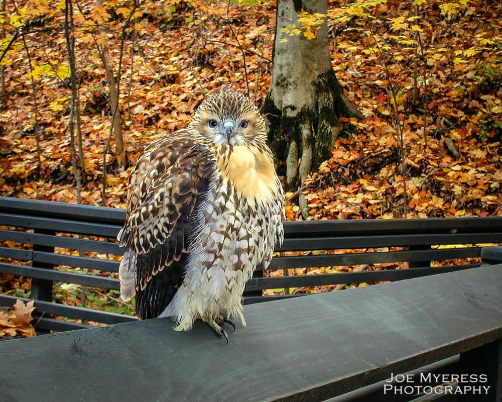 Hawk 8x10