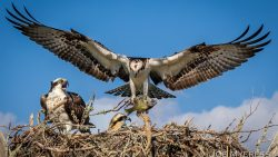 Osprey family dinner
